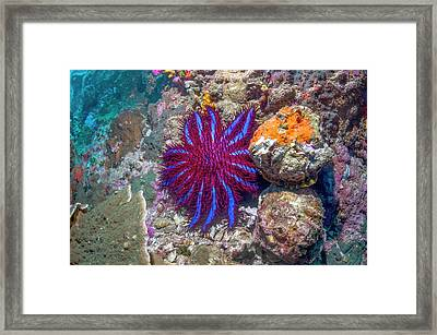 Crown-of-thorns Starfish Framed Print by Georgette Douwma