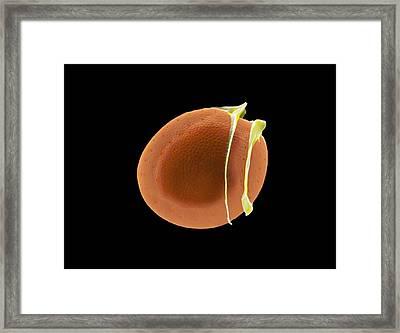 Diatom, Sem Framed Print by Science Photo Library