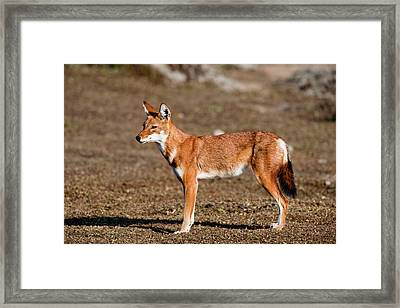 Ethiopian Wolf (canis Simensis Framed Print