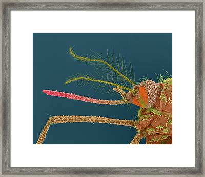 Female Asian Tiger Mosquito Framed Print by Dennis Kunkel Microscopy/science Photo Library