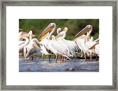 Great White Pelican (pelecanus Framed Print by Martin Zwick