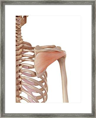 Human Shoulder Muscles Framed Print by Sebastian Kaulitzki/science Photo Library