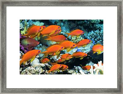 Lyretail Anthias Framed Print