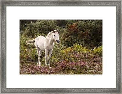 New Forest Pony Framed Print by Angel Ciesniarska
