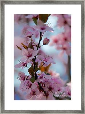Plum Tree Flowers Framed Print
