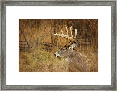 12 Point White-tail Framed Print