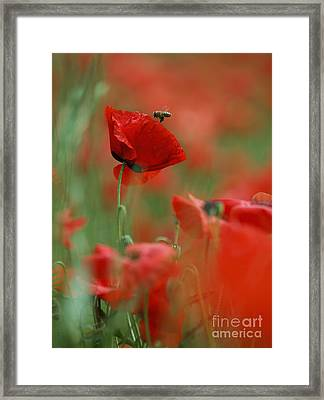Red Poppy Flowers Framed Print