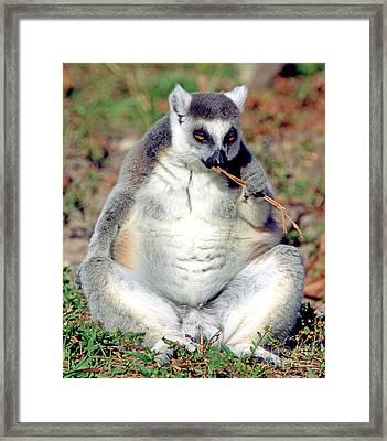 Ring Tailed Lemur Framed Print by Millard H. Sharp