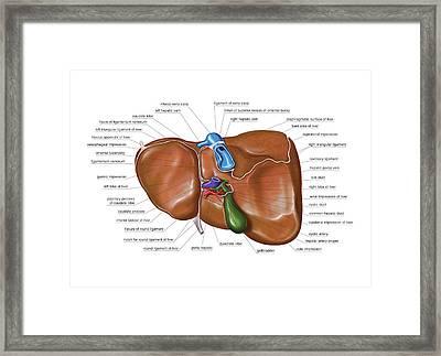 The Liver Framed Print by Asklepios Medical Atlas
