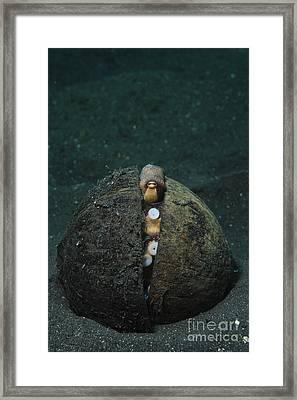 A Coconut Octopus, Lembeh Strait Framed Print by Steve Jones