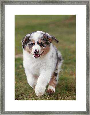 Australian Shepherd Puppy Framed Print by Jean-Michel Labat