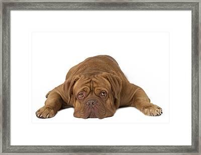 Dogue De Bordeaux Framed Print by Jean-Michel Labat
