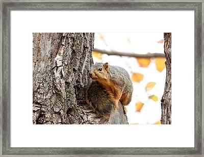 Eastern Fox Squirrel Framed Print by Jack R Brock