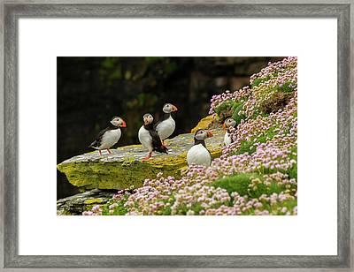 Europe, Scotland, Shetland Islands Framed Print by Jaynes Gallery