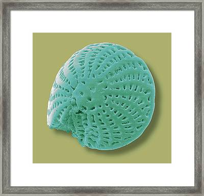 Foraminiferan Microfossil Framed Print by Steve Gschmeissner