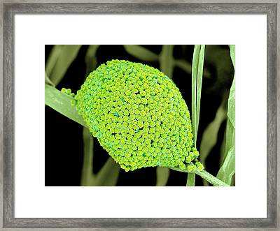 Fungal Cells Framed Print by Science Photo Library