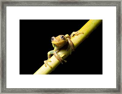 Tree Frog Framed Print by Dirk Ercken