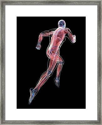 Male Musculature Framed Print by Sciepro/science Photo Library