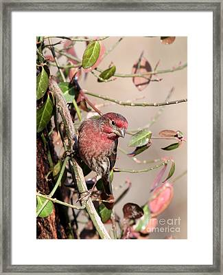 House Finch Framed Print by Jack R Brock