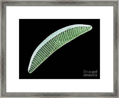 Diatom, Sem Framed Print