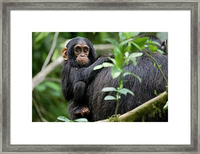 Africa, Uganda, Kibale National Park Framed Print
