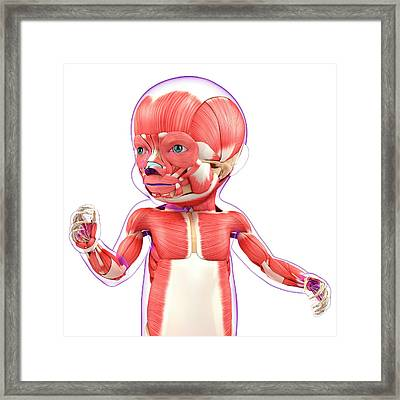 Baby's Muscular System Framed Print by Pixologicstudio