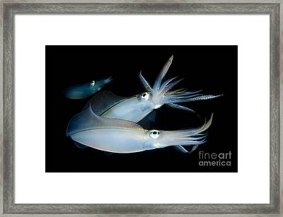 Bigfin Reef Squid Tending Eggs Framed Print by Steve Jones