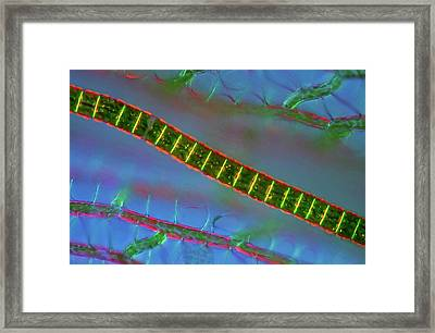 Desmid On Sphagnum Moss Framed Print