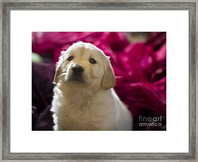 Golden Retriever Puppy Framed Print by Angel  Tarantella