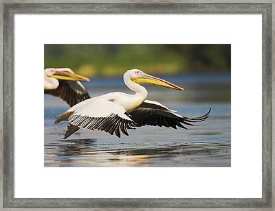 Great White Pelican (pelecanus Framed Print