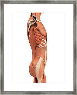 Human Abdominal Muscles Framed Print by Sebastian Kaulitzki