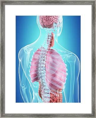 Human Internal Organs Framed Print by Sciepro