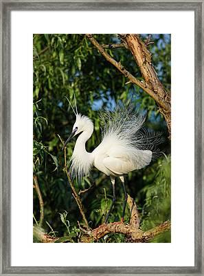 Little Egret (egretta Garzetta Framed Print by Martin Zwick