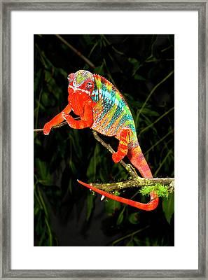 Rainbow Panther Chameleon, Fucifer Framed Print