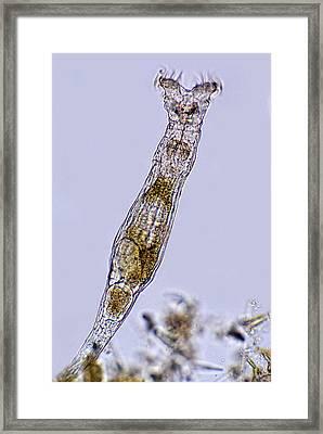 Rotifer Framed Print by Marek Mis