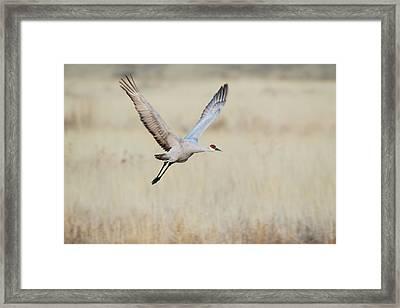 Sandhill Crane (grus Canadensis Framed Print