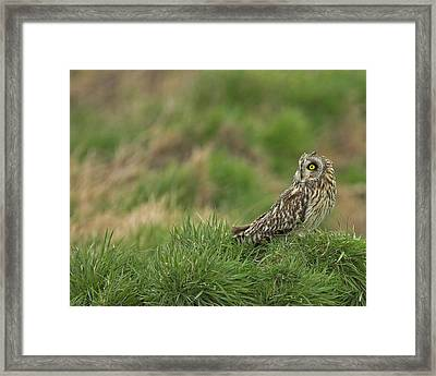 Framed Print featuring the photograph Short Eared Owl by Paul Scoullar