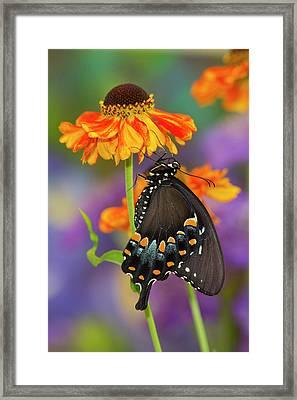 Spicebush Swallowtail Butterfly Framed Print by Darrell Gulin