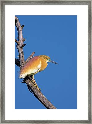 Squacco Heron (ardeola Ralloides Framed Print by Martin Zwick