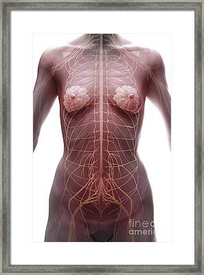 The Nervous System Female Framed Print by Science Picture Co