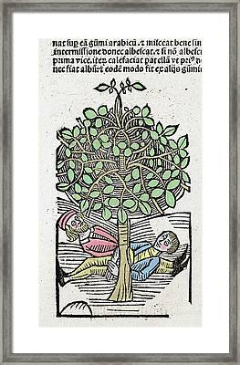 1491 Bausor Opium Tree Hortus Sanitatis Framed Print by Paul D Stewart