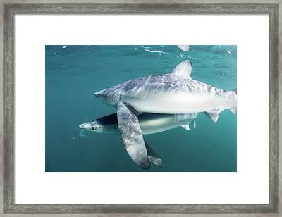 A Sleek Blue Shark Swimming Framed Print by Ethan Daniels