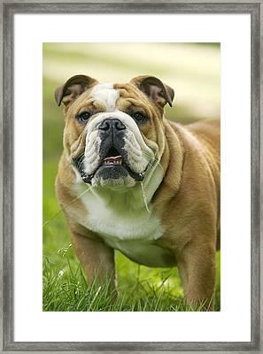 English Bulldog Framed Print by Jean-Michel Labat