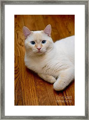 Flame Point Siamese Cat Framed Print
