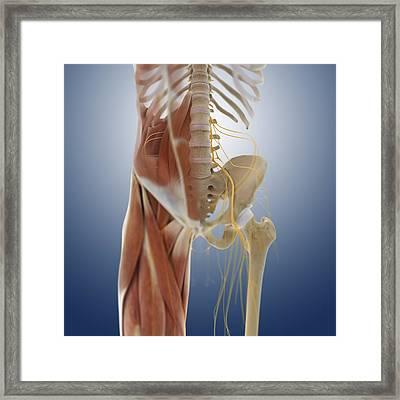Lower Body Anatomy, Artwork Framed Print by Science Photo Library