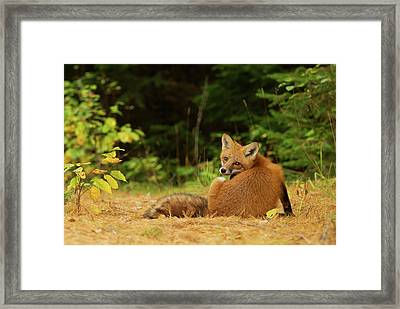Red Fox - Algonquin Park Framed Print