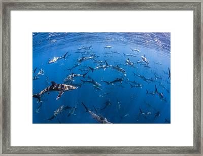 151 Silky Sharks Framed Print