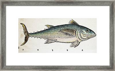 1560 Gesner Medditeranean Bluefin Tuna Framed Print by Paul D Stewart
