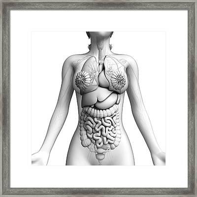Female Anatomy Framed Print