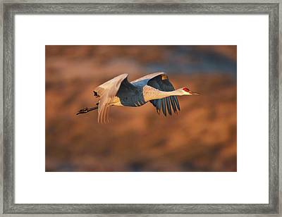 Sandhill Crane (grus Canadensis Framed Print by Larry Ditto